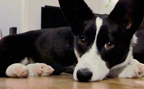Black and white Welsh Corgi